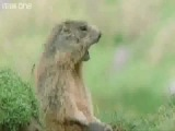 Прикольная озвучка животных BBC