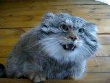Кот редкой породы - манул