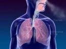 Дыхательная система (анимация). Анатомия органов дыхания: полость носа, гортань, трахея, бронхи, легкие (правое больше левого).