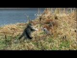 Южно-Камчатский кот и лиса. Знакомство. (Полная версия).