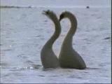Брачный танец лебедей!