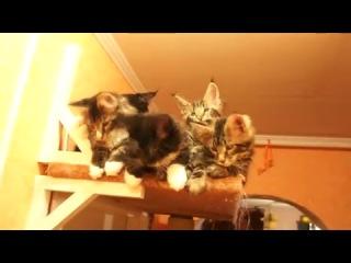 Котята мейн-кун питомника Nord-Westland