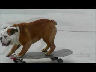 Английский бульдог катается на скейте)))))))
