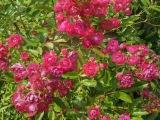 Puhdys (Renft) - Wer die Rose ehrt