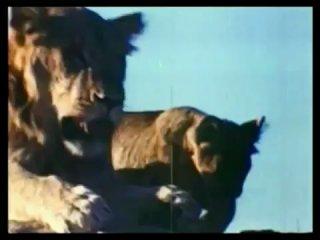 Львиная любовь - большая часть львиной доли:)