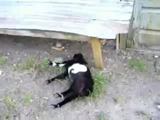 Козы от испуга падают в обморок=)))