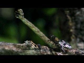плотоядная гусеница