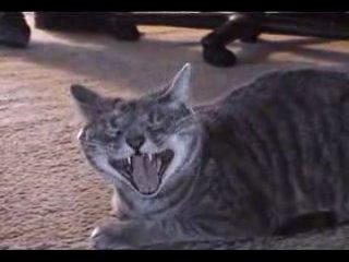 Кот хахатун