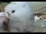 Альбинос-пищалка
