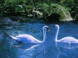 Учитесь верности у лебедей!
