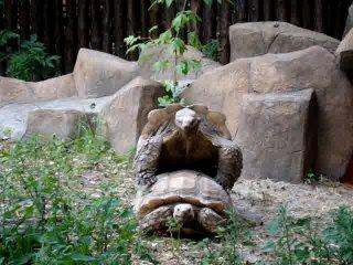 Трахающиеся черепахи. Киевский зоопарк 25.06.2010 Угар порно жесть ахахахаха кот пиздец смешно пипец ржу не могу полный пёс медв