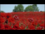 Red Poppies in the Wind