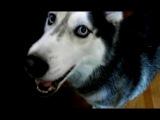 Хаски Мишка-говорящая собака