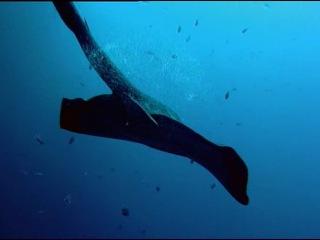 BBC: Жизнь животных - Плотоядные / BBC: The Wildlife Specials (2003). Часть 6 / Part 6. Касатка / Killer Whale
