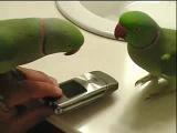 Попугаи разговариваю друг с другом