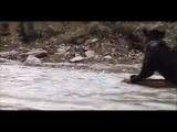 Видео про медвежонка. Хороший показатель в человеческой жизни (о том, что нельзя сдаваться)