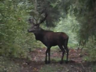 охота на оленя на реву