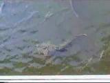 Гигантские сомы в реке Припять