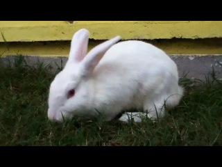 кролик-альбинос. часть 1