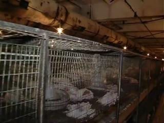 Заживо погребенные цыплята из Железногорского района Курской области(слабонервным не смотреть)