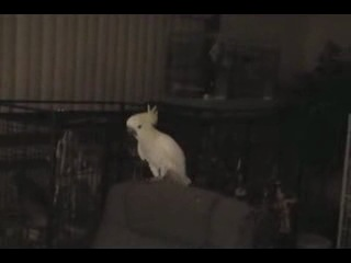 попугай рокер танцует =)