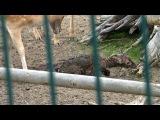 Маленький новорожденный оленёнок встаёт на ноги