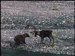 Сказ о том, как олень-идиот решил с медведем тягаться)))