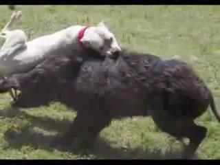Охота с аргентинским догом