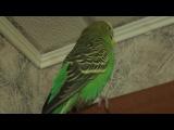 говорящий попугай Грошик