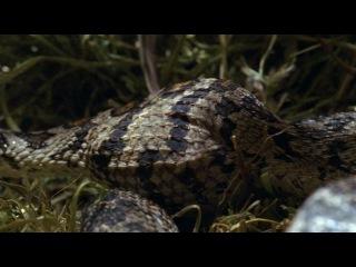 Жизнь с холодной кровью (Серия 4: Удивительные змеи)   только фильмы BBC