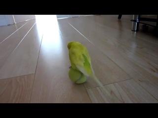 Подготовка попугая в цирк