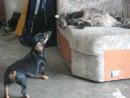 Очень злая собака № 7))))