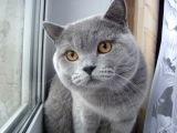 Кот, котик, смешно, кот говорит, серый кот, смешно, мило, забавно :)