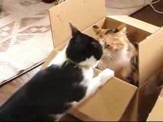 Коты драчуны дерутся. Какие мы злые Парамоша.Щечки вискасом отъел.Только вылез из коробки сразу в морду драка без лишних слов