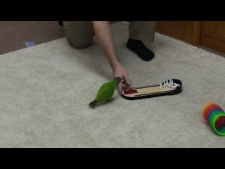 Подготовка попугая в спецназ