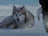 Клип из кинофильма Белый Плен