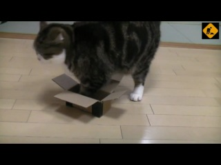 Мару. Кот и подмена коробок.