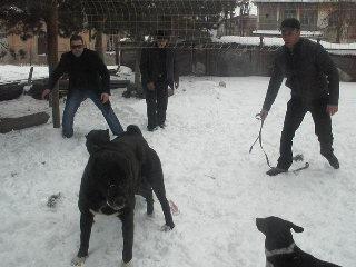 Собачьи Бои Кавказа