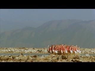 Брачные танцы розовых фламинго