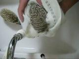 Мытьё ёжиков