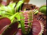 Венерина мухоловка. Плотоядное растение!!!
