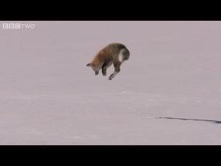 Лиса зимой ловит мышей под снегом с глубин до 1,5 метров!