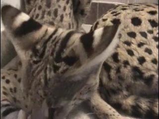 Ашера Ashera леопардовая  большая  кошка