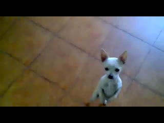 Танцующая чихуахуа!!!!