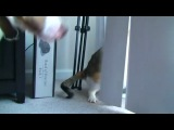 Злобный кот против собаки