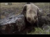 BBC: Мир природы. Среди медведей Камчатки / The Natural World. The Bear Man of Kamchatka (2006)