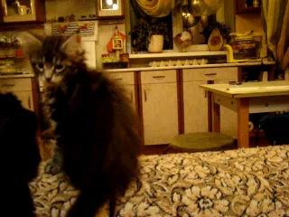 Мейн куны! Котята породы Мейн кун! Мэйн кун нежный гигант в Вашем доме!!! Питомник мейн кунов Catsvill Count