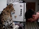 Кошка породы Ашера даёт леща за невозврат долгов!!!)