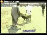 Собaчьи бои - булли куттa из тоссa ину (Bully kutta vs tosa inu)