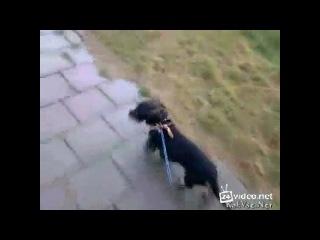 Собака подрожая коровам тоже мычит